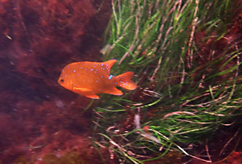 Immature Garibaldi Fish