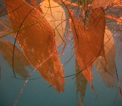 Kelp Leaves