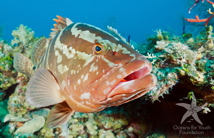 Big groupers are sure to be seen on this Cuba liveaboard snorkeling trip.