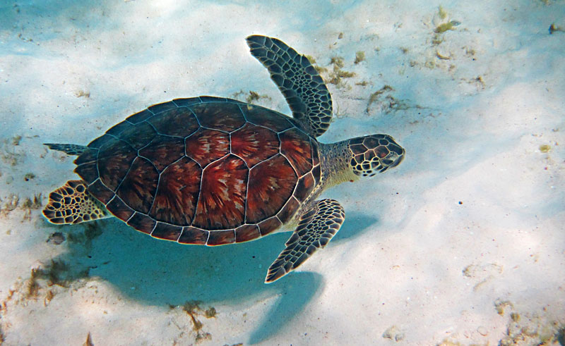 Sea Turtle Over Sand