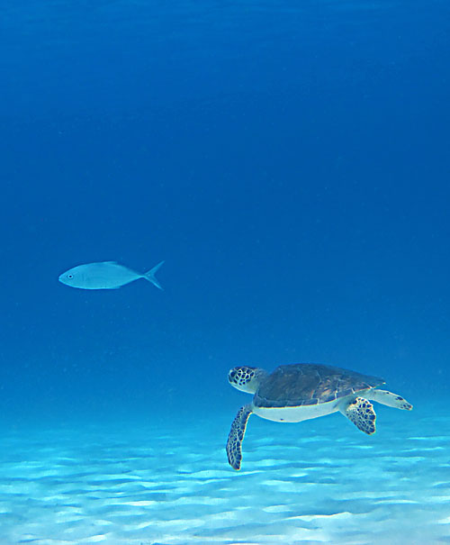 Another Sea Turtle & Bar Jack