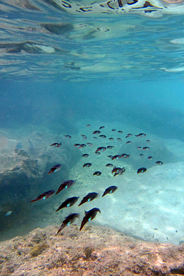 School of Caribbean Reef Squid