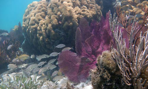 Healthy hard and soft corals and school of fish at Dry Tortugas