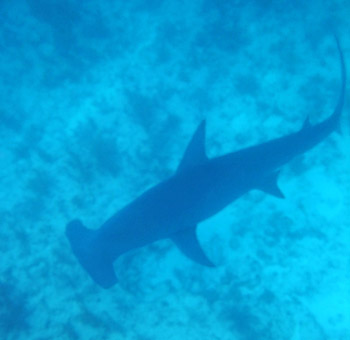Hammerhead Shark seen when snorkeling Alligator Reef