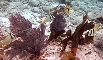 Porkfish at Alligator Reef