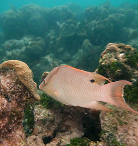 Hogfish at Cheeca Rocks