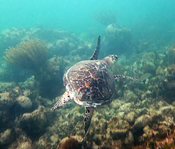 Sea Turtle at Cheeca Rocks - One of the best keys snorkel spots.