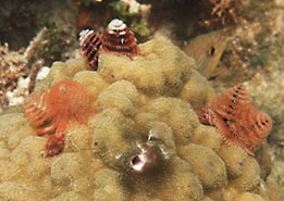Christmas Tree Worms on coral