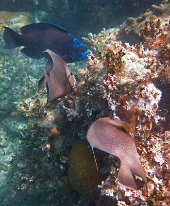 Grey Angelfish & Midnight Parrotfish