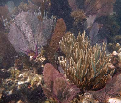 Sea Rods and Sea Fans at Grecian Rocks