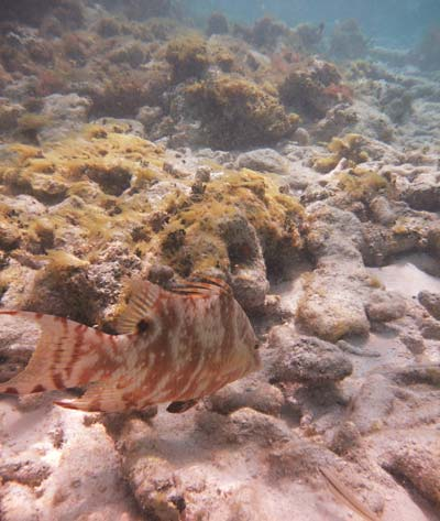 Snorkeling Grecian Rocks with Hogfish