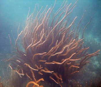 Soft corals at a reef near Key Largo