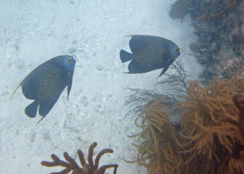 French Angelfish and soft corals seen snorkeling in the Key Largo area