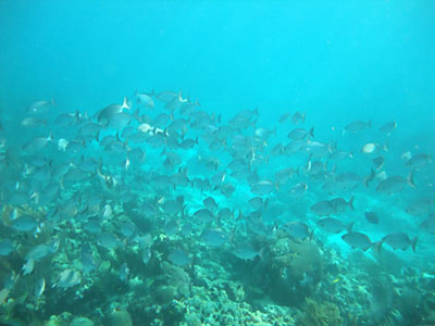 School of Chubs - Snorkeling Coffins Patch