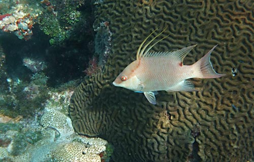 Snorkeling The Donut with a Hogfish