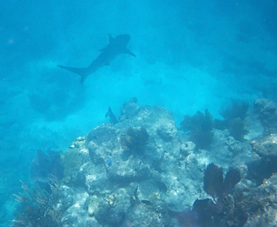 Reef Shark at Looe Key