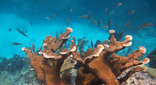 Elkhorn Coral at Looe Key