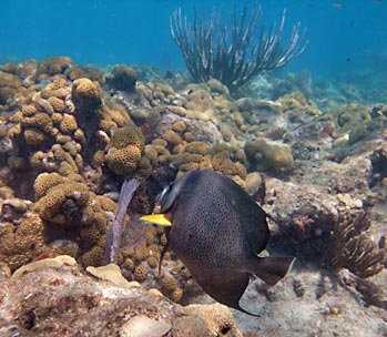 Grey Angelfish and Zoanthids