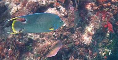 Blue Angelfish at Looe Key