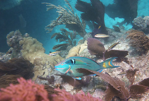 Snorkeling Healthy Looe Key Reef with Stoplight Parrotfish & Bluehead Wrasse