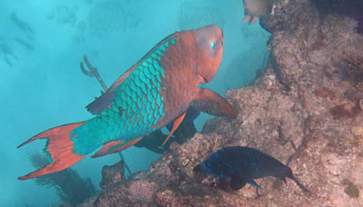 Giant Rainbow Parrotfish next to Midnight Parrotfish