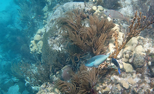 Snorkeling Looe Key with Corals and Fish