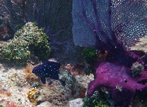 Purple Sea Fan & Immature Yellowtail Damselfish