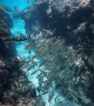 School of grunts in a reef grove.
