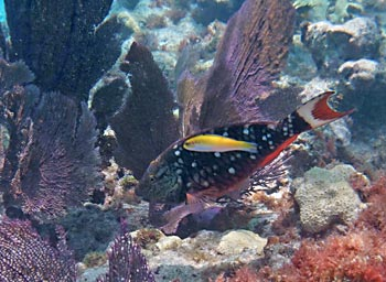 Sea Fans & Parrotfish at Sombrerro Reef