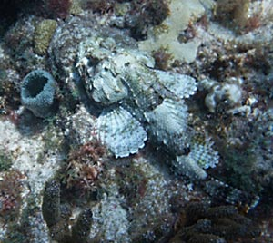 Spotted Scorpionfish seen snorkeling Sombrero Reef
