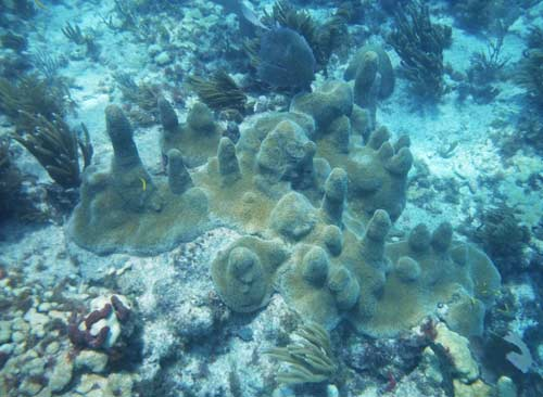 Pillar Coral at Sombrero Reef