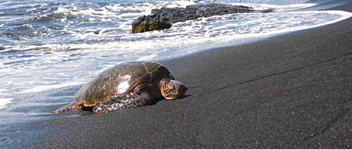 Sea Turtle On Shore Resting - Big Island Hawaii