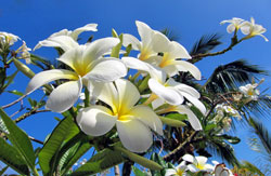 Plumeria Big Island Hawaii