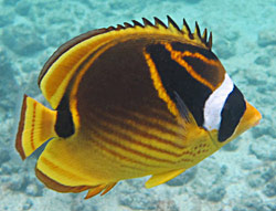 Raccoon Butterflyfish - Big Island