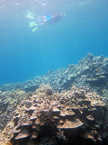 Snorkeler over corals - Big Island Hawaii