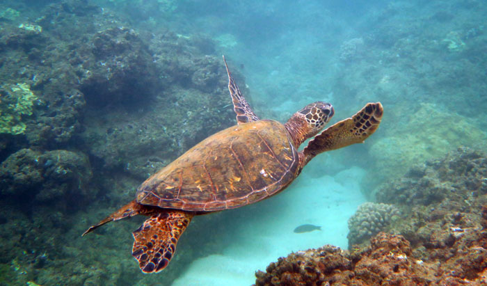 Snorkeling Hideaways Beach with Sea Turtle