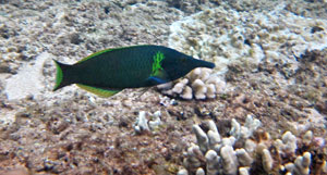 Bird Wrasse at Hideaways Beach
