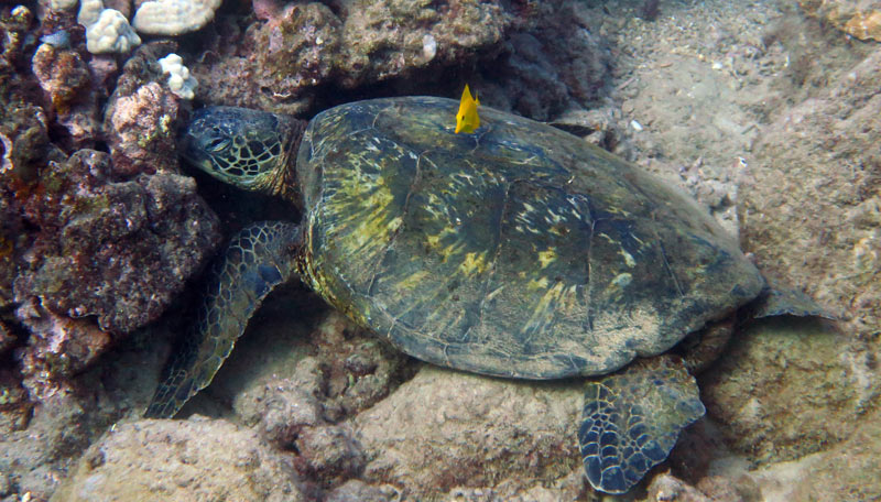 Resting Sea Turtle at Koloa Landing