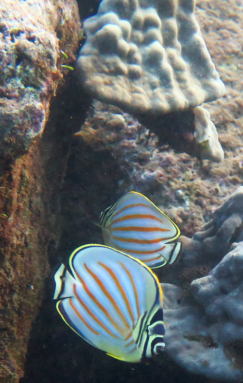 Pair of Ornate Butterflyfish