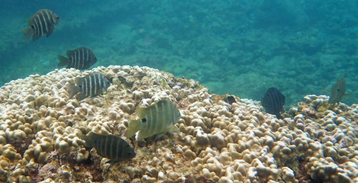 School of Blackspot Sergeant over Lawai coral head