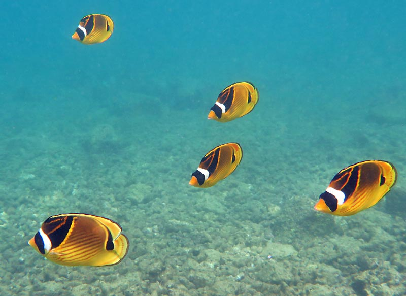 Lawai Beach school of Raccoon Butterflyfish