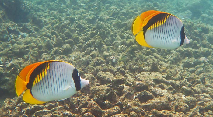 Lined Butterflyfish at Lawai Beach