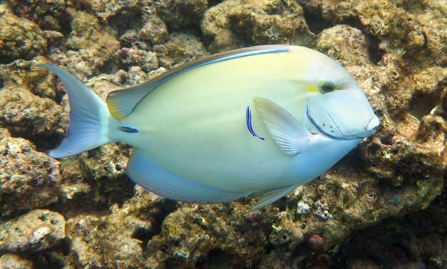 Surgeonfish are common at Lawai Beach