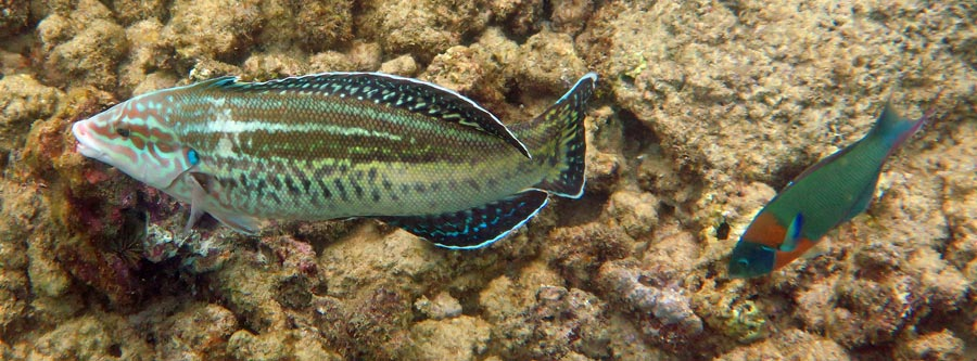 Yellowstripe Coris and Saddle Wrasse