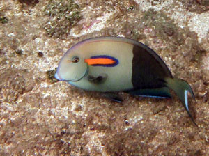 Orangeband Surgeonfish at Poipu Beach Park
