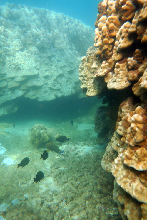 Massive Healthy Coral Head with Fish at Tunnels