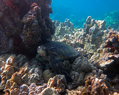 Snorkeling Maui Green Sea Turtle