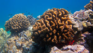 Hard Corals & Fish - Maui