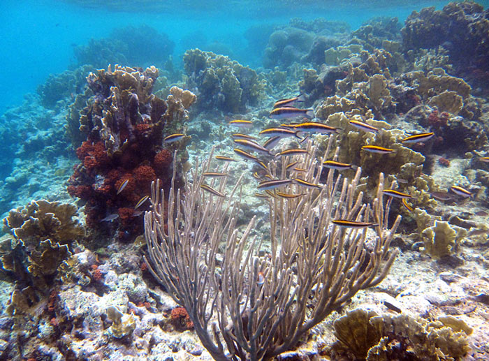 Shallow Reef And A School Of Young Bluehead Wrasse