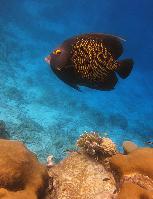 A Very Friendly French Angelfish